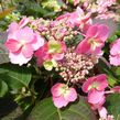 Hydrangea serrata Cotton Candy MAC20